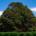 Cypress of Abarkuh